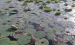 foglie di ninfee Garda.jpg