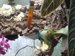 03 - mortella2 colibrì.jpg
